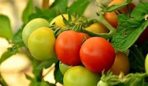Dünger Für Tomaten : nat rlicher d nger kaffeesatz f r tomaten und mehr ~ Watch28wear.com Haus und Dekorationen