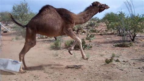 camel  bin youtube