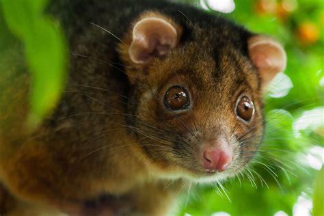 Ringtail Possum Diet, Habitat & Reproduction   Sydney