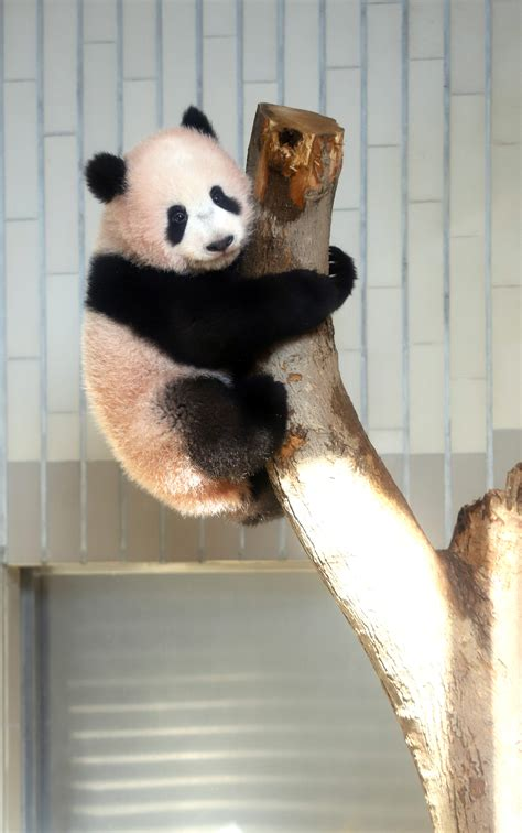 panda baby japan birth giving emotional giant cub zoo zookeepers left newsd press technological advancements why