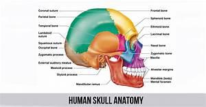 Human Skull Anatomy