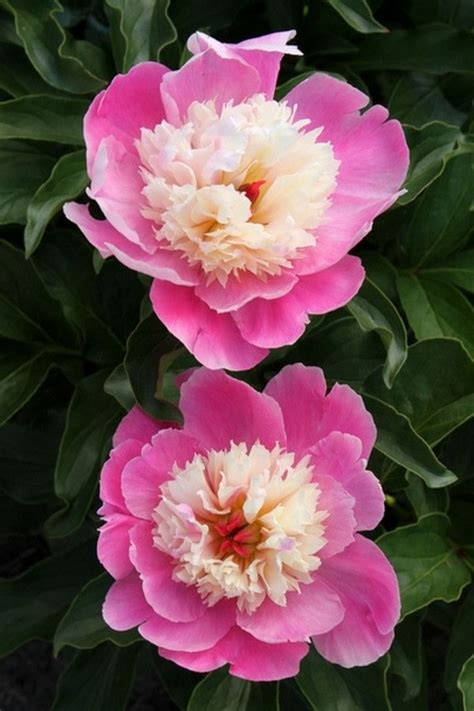 17 best ideas about peony plants for sale on
