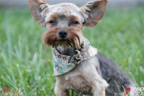chicago yorkshire terrier adoption romp italian