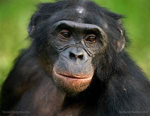 Amazing Apes  Great Apes Can  U201cread Minds U201d To Help People