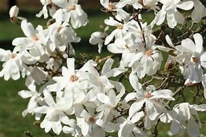 Wann Wird Lavendel Geschnitten : sternmagnolie schneiden wann und wie wird 39 s gemacht ~ Lizthompson.info Haus und Dekorationen