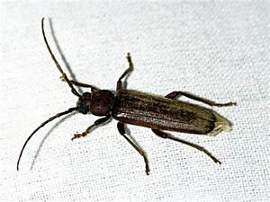 Insecte De Maison : larve vrillette poisson naturel ~ Melissatoandfro.com Idées de Décoration