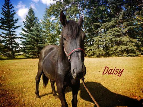 pin  canadian hay ranch canadian horse breeder
