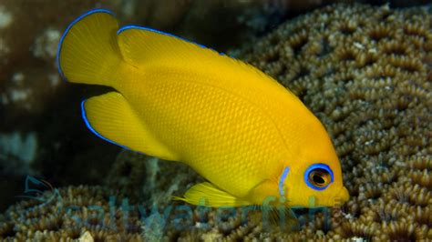 Lemonpeel Angelfish; Marshall Isand