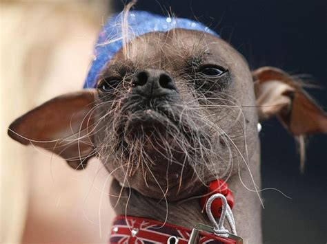 2012 world s ugliest dog contest damn cool pictures