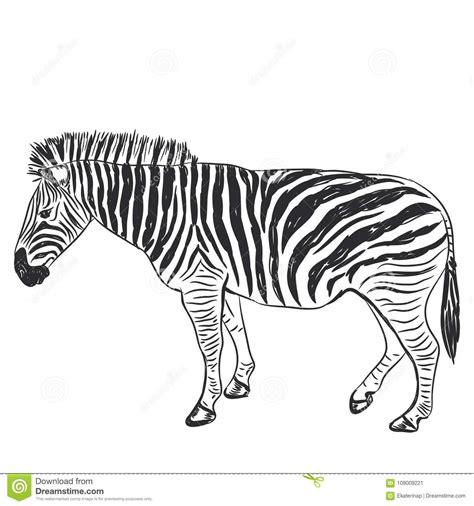 Black And White Zebra Portrait Sketch Isolated On White