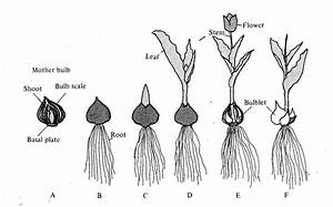 Growth Cycle Of Tulip Plants   A  Planting Mother Bulb   B