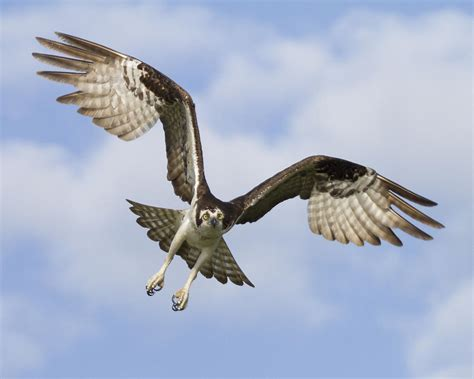osprey in flight one photograph by bill swindaman
