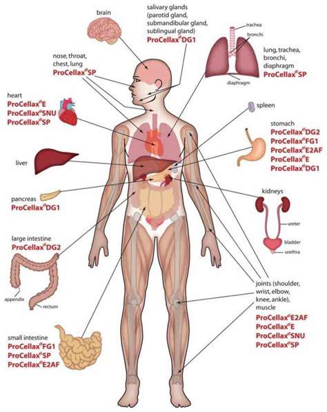 diagram of inside human body medicinebtg com