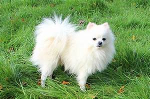 Stunning Rare White Teddy Bear Pomeranian Adult - Litle Pups