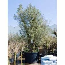 Gros Pot Pour Olivier : vente d 39 olivier olea cipressino tige ~ Melissatoandfro.com Idées de Décoration