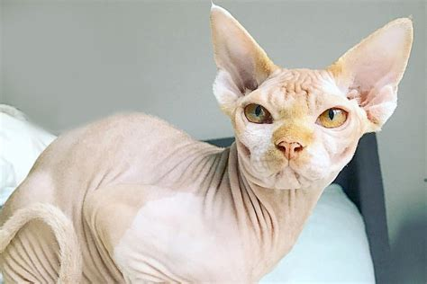 5 Interesting Facts About This Exotic Hairless Cat