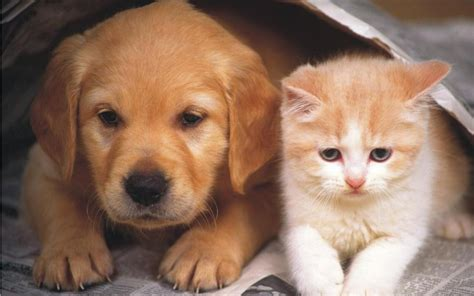 dogs and cats and cat wallpaper teddybear64 wallpaper 16834863