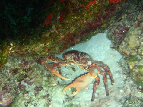 Biggest Crab Boat In The World by The Biggest King Crab Ever Picture Of Aqua Safari Dive