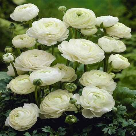white ranunculus www pixshark images galleries