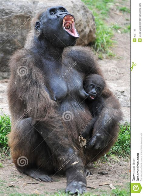 gorilla   young offspring screaming royalty