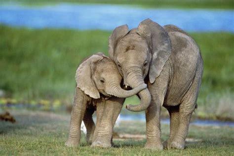 african elephant  calves  trunks