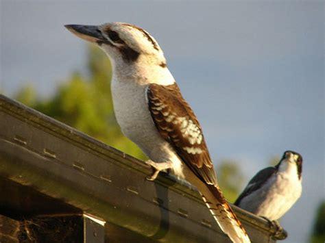 kookaburra    kookaburra birds