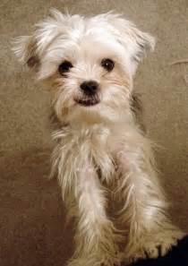 Yorkie Bichon Mix Puppy