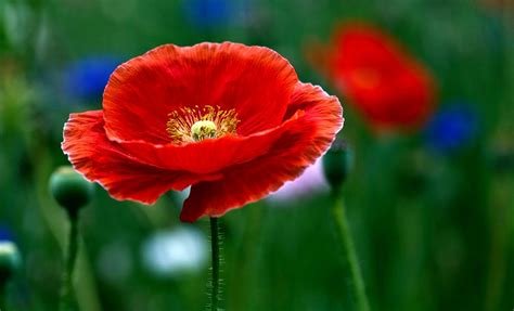 wedding quotes quotes poppy flowers hd wallpaper 2015