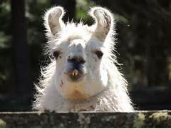 2020 Other Images Fat Llama