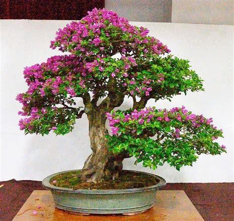 bonsai bougenville tanaman kecil hasil nggak kecil