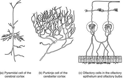 brain test italiano nervous tissue anatomy and physiology i