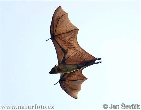volpi volanti volpe volante indiana foto immagini