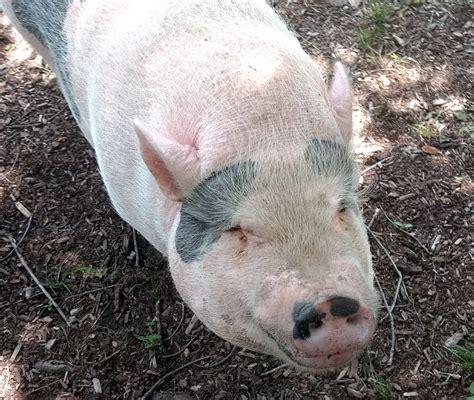 ungulate zookeeper ungulates snaps piggy momentous honor pigs
