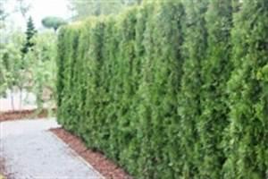 Thuja Brabant Wachstum : thuja lebensbaum ~ Michelbontemps.com Haus und Dekorationen
