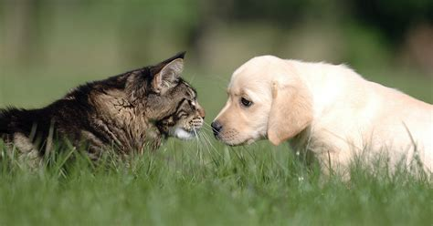 tips  introducing dog  cat dogtime