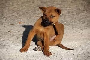 Puce De Chien : allergie aux piq res de puces chez le chien ~ Melissatoandfro.com Idées de Décoration
