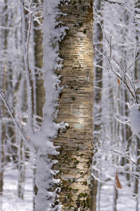 birch bark paneling birch wood wall covering bark house