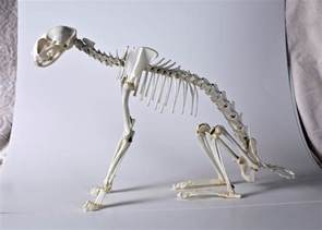 cat skeleton domestic real cat skeleton articulation taxidermy bone oddity