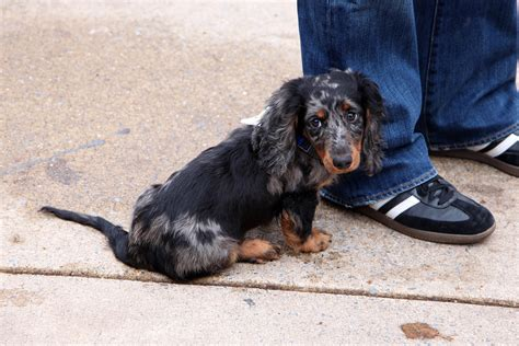 Dachshund Puppy Saw A Cute Long Haired Dachshund Puppy Wit Flickr