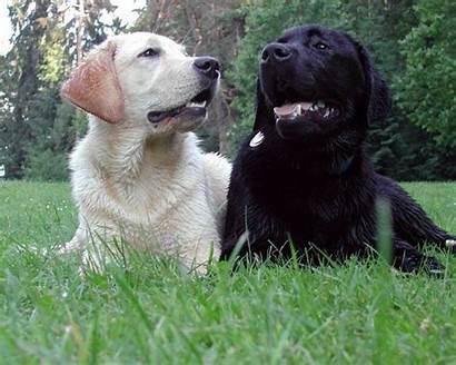 Lab Puppy Wallpapers Labrador Puppies Retriever Dogs