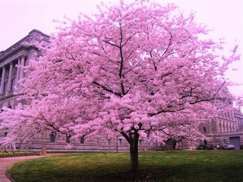 cherry blossom tree l cherry blossom trees dreams meaning interpretation and