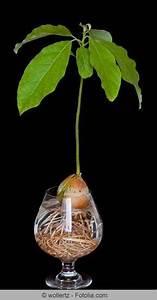 Avocado Baum Pflege : anzucht der avocado pflanzen und garten avocado baum garten und pflanzen ~ Orissabook.com Haus und Dekorationen