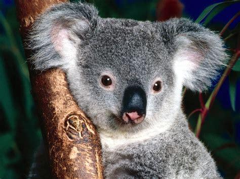 kids  funcom wallpaper animals  australia animals