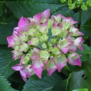 Winterharte Pflanzen Für Balkon : hortensien im topf berwintern winterharte hortensien balkon winterquartier ~ Somuchworld.com Haus und Dekorationen
