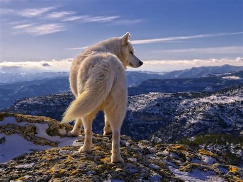 pic new posts hd wallpapers wolf
