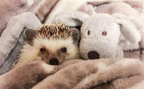 Meet Britains Smiles Hedgehog