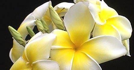 ciri ciri bunga kamboja