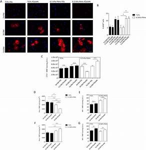 Differentiation Of Primary Rat Oligodendrocyte Progenitor