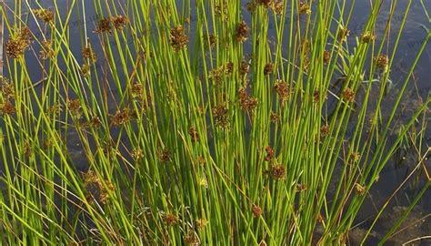 marginal plants plants marginal plants pond life