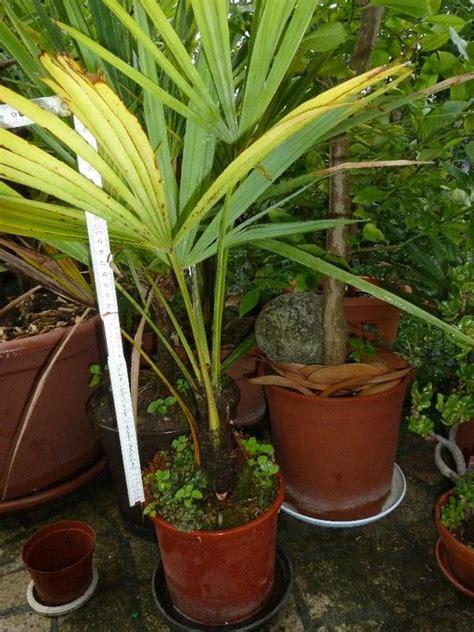 Palmen, Kübelpflanzen Usw Für Garten Und Terrasse In
